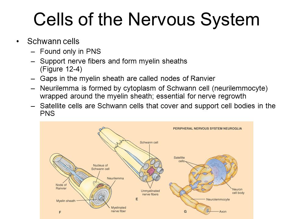 Chapter 12 Nervous System Cells Diagram - Block And Schematic Diagrams •