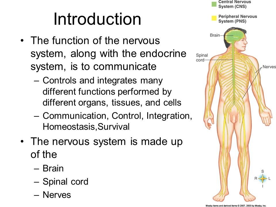 Chapter 12 Nervous System Cells Introduction The Function Of The