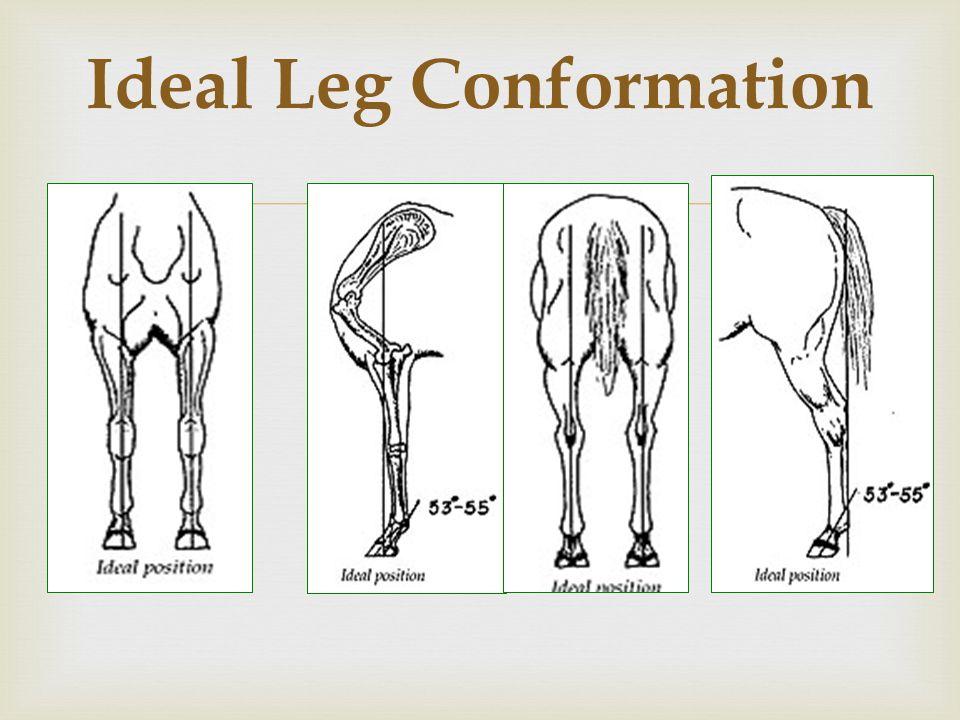 Image result for horse leg conformation
