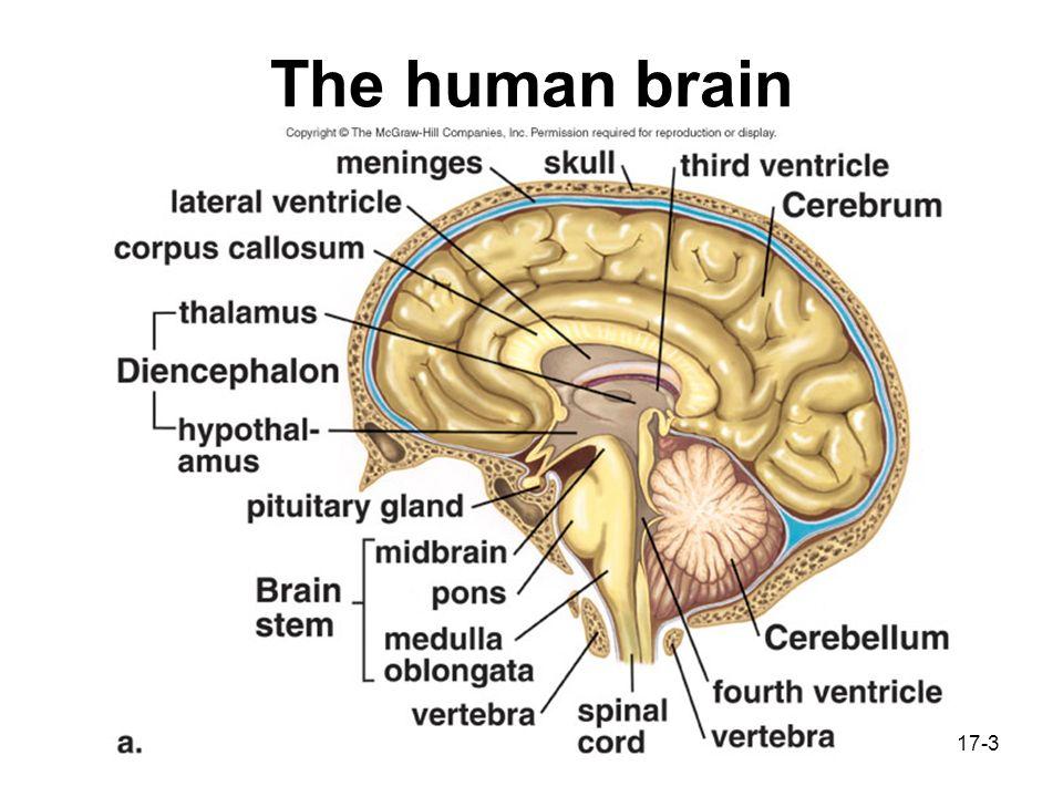 17-1 The Central Nervous System The central nervous system (CNS ...