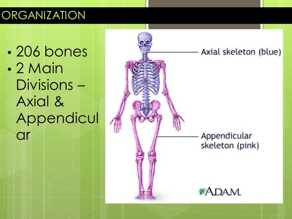 Skeletal System Organization 206 Bones 2 Main Divisions Axial