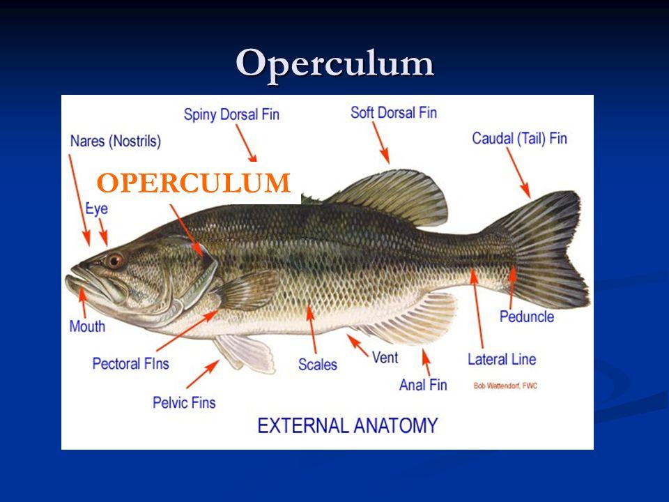 Phylum Chordata Subphylum Vertebrata Classes of FISH. - ppt download