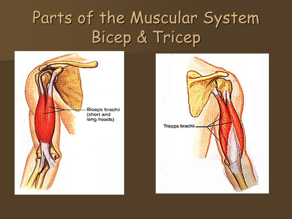 The Muscular System Defn Is A Tough Group Of Tissues That Make