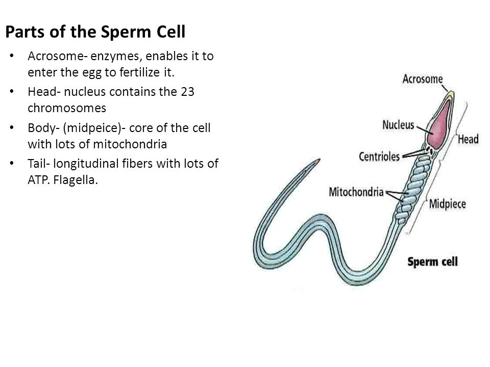 Parts of the sperm cell opinion you
