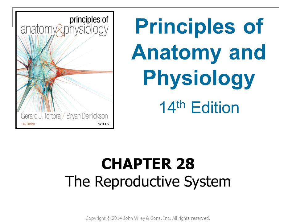 CHAPTER 28 The Reproductive System Principles of Anatomy and ...