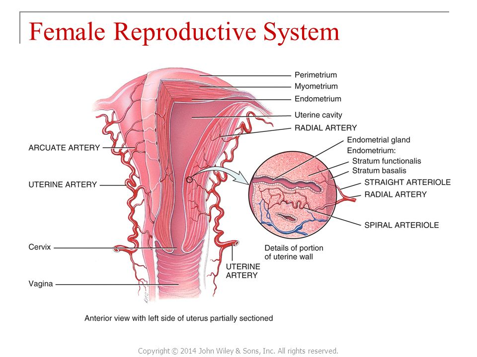 Chapter 28 The Reproductive System Principles Of Anatomy And