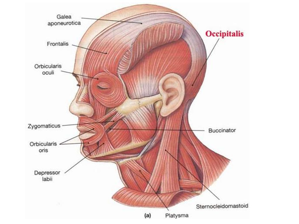 Scalp : layers, muscles, vessels, and innervations of the scalp The ...