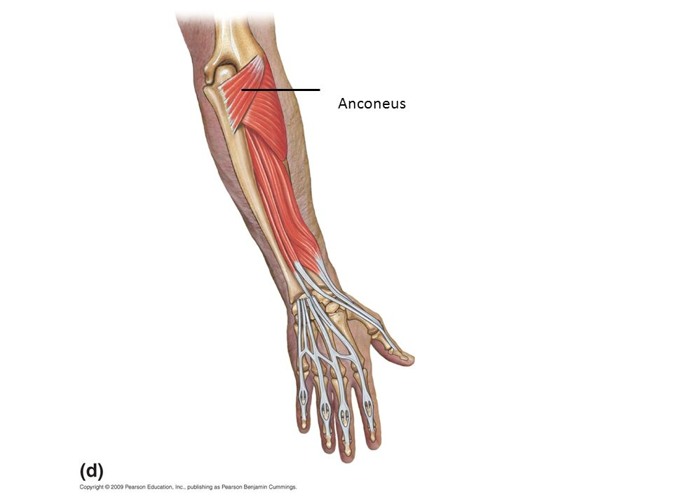 Muscular System. Type of Muscle? Parallel Muscle Type? Convergent ...