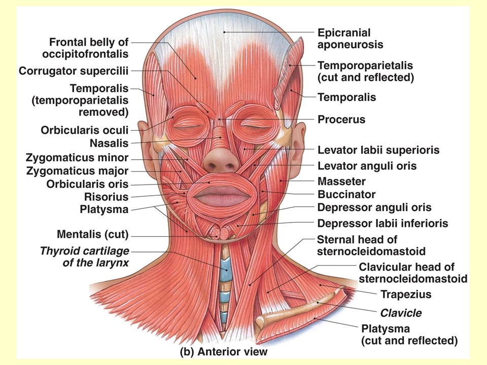 Muscles Of The Face Head And Neck Muscles Of The Abdominal Wall