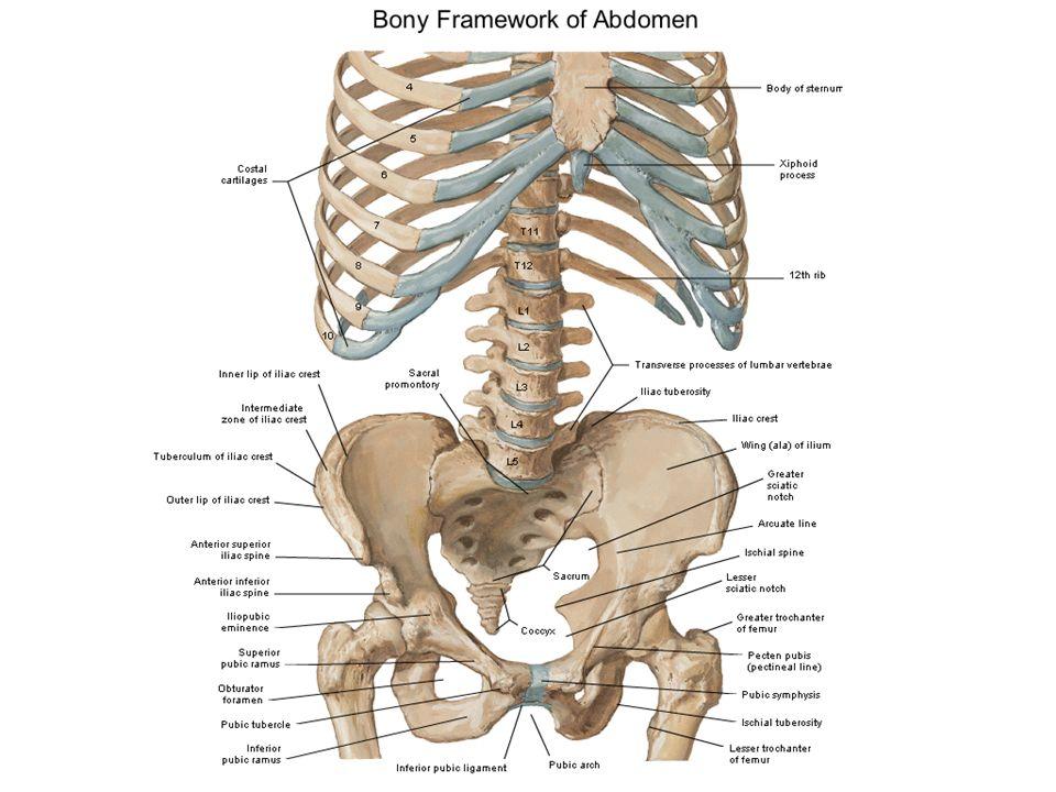 Anatomy of Abdomen and Pelvis - ppt video online download
