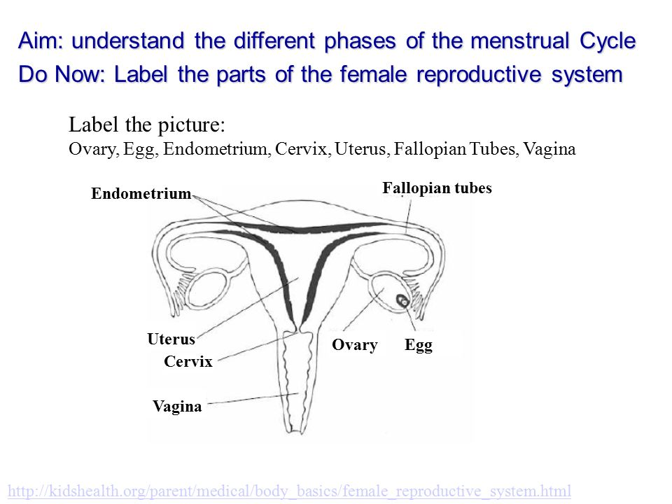 Label The Picture Ovary Egg Endometrium Cervix Uterus