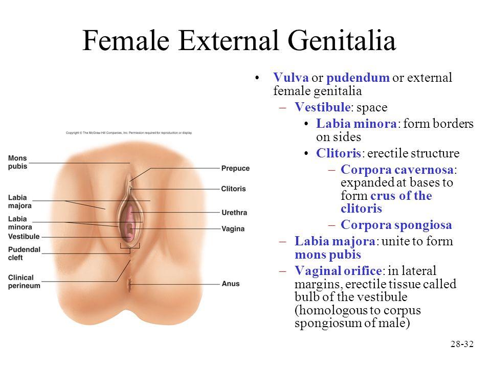 Cavernosum vaginal What is corpus