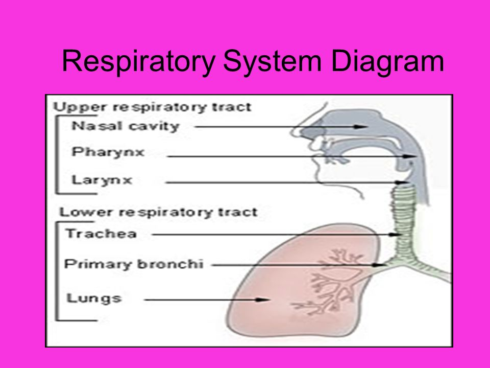 The Respiratory System Respiratory System Diagram Ppt Download