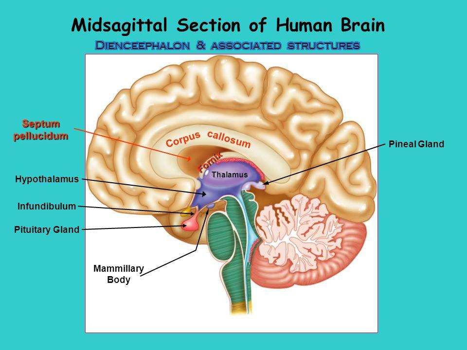 Septum Pellucidum Brain Model Diagram Block And Schematic Diagrams