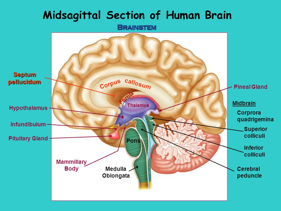 With human brain diagram cerebral peduncle anatomy simple week 10 central nervous system the brain sheep humanhuman brainbrain rh slideplayer com cerebral peduncle mammilary ccuart Images