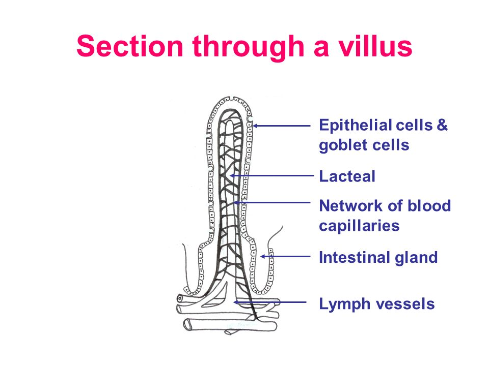 28 Section Through A Villus Lacteal Network Of Blood Capillaries Epithelial Cells Goblet Lymph Vessels Intestinal Gland