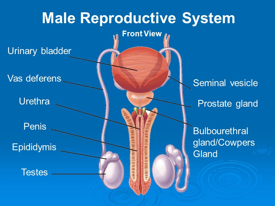Chapter 18 Male Reproductive System. Functions of the Male ...