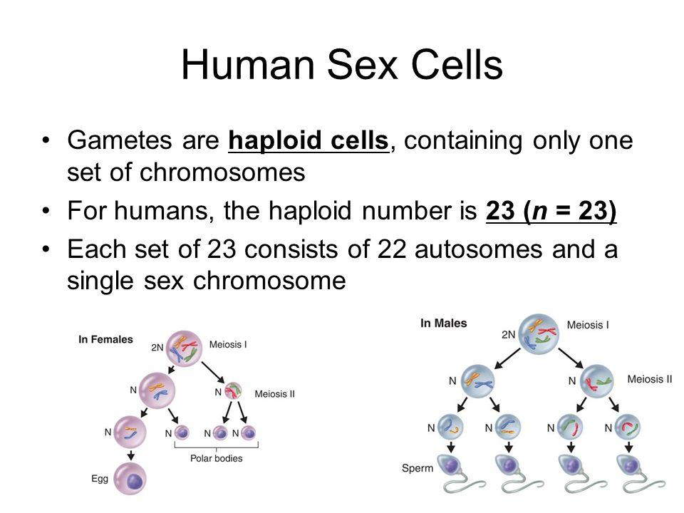 Human reproductive cells female oocytes ovum stock vector