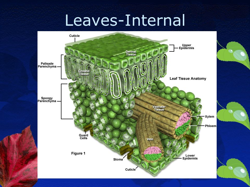 Plant Parts And Their Functions Leaves Internal Ppt Download