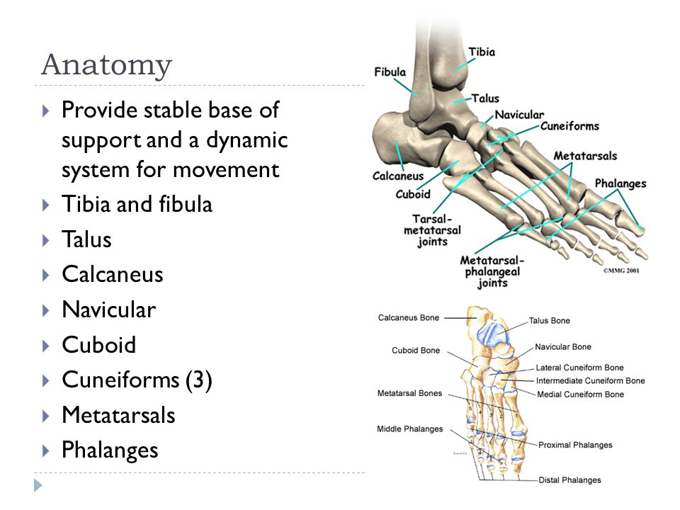 Injuries to the Lower Leg, Ankle, and Foot. Anatomy  Provide ...