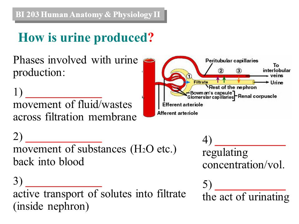 Phases involved with urine production: 1) ______ movement of fluid ...