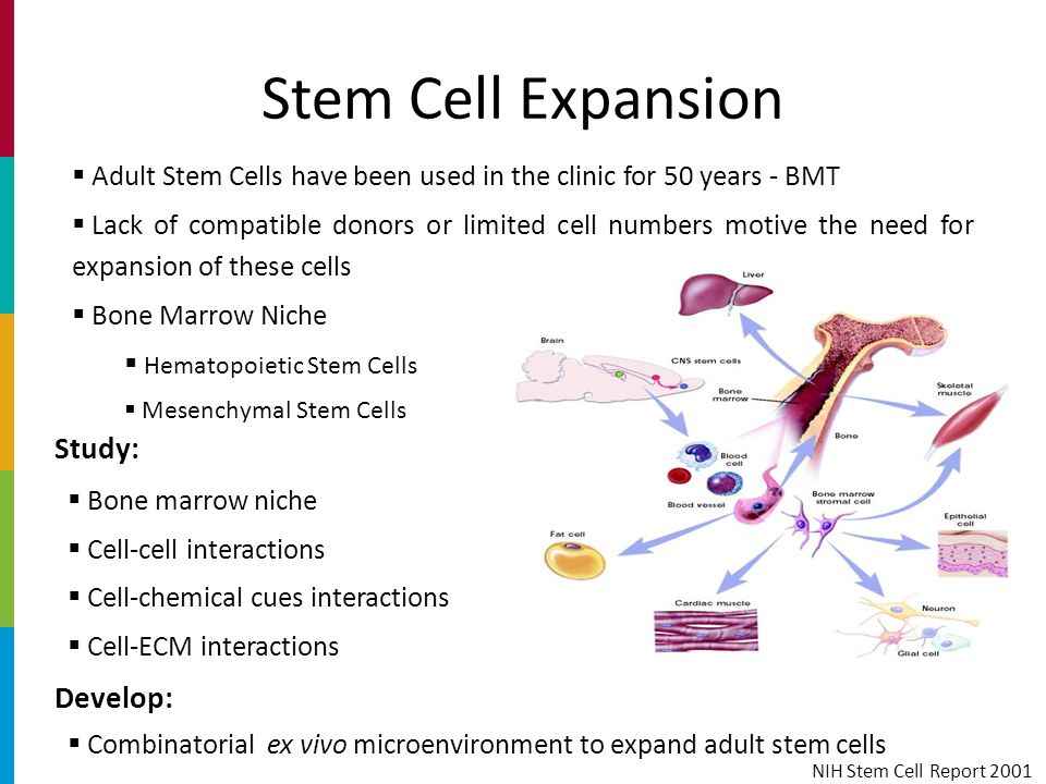Adult stem cell production of twins — 15