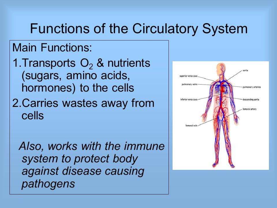 The Circulatory System Also Called Cardiovascular System Consists