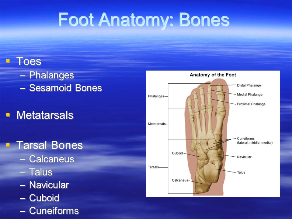 Chapter 18: The Foot. Foot Anatomy: Bones  Toes –Phalanges ...