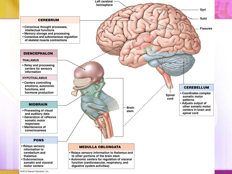 Major Brain Regions & Landmarks Cerebrum Cerebrum performs higher ...