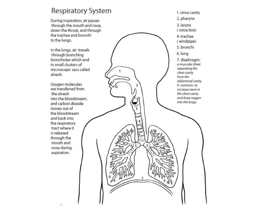 Write topic and aim on the back of the notes sheet topic 16 resiratory system questions 6 identify the structures that hold the trachea upright cartilage 7 identify what is found on the lining of the nasal ccuart Image collections