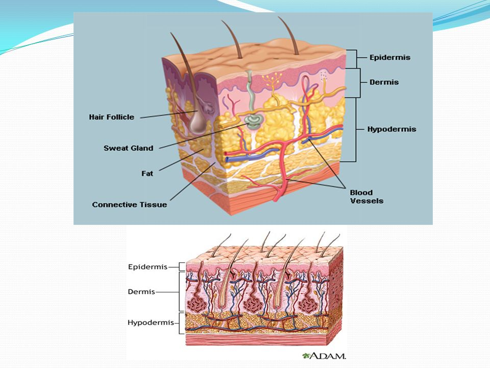 SKIN The skin has multiple layers of ectodermal tissue guards the ...