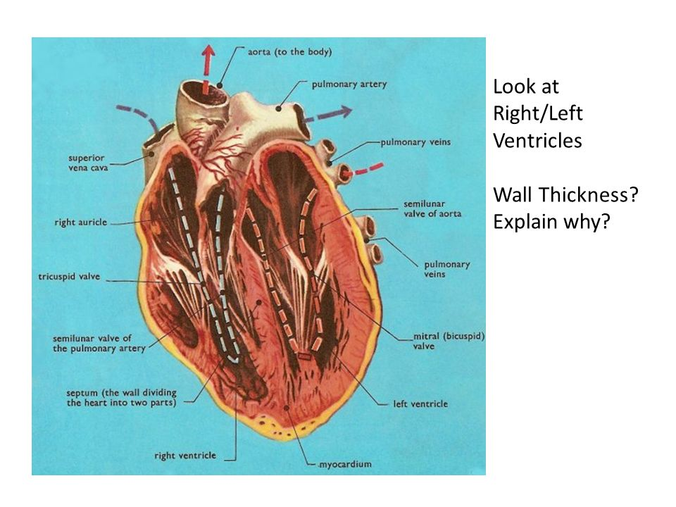 Heart Structure and Function The gross structure of the human heart ...