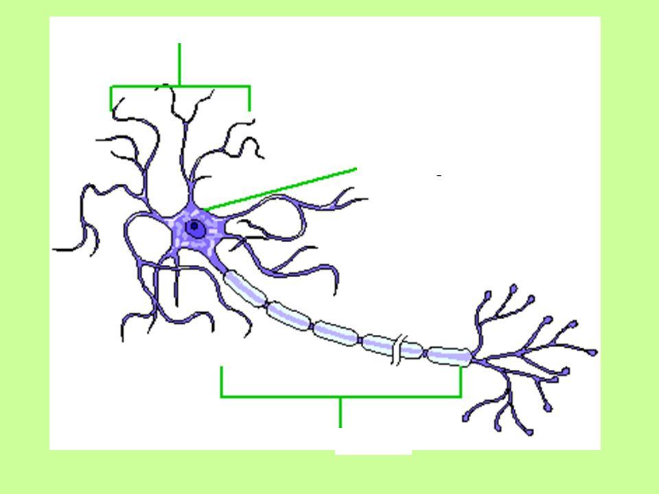 Brain and neuron labeling and quizzes ap ch 8 biel ppt download 3 httppurposegamesgamebrain anatomy quiz lobes of the brain quiz ccuart Gallery