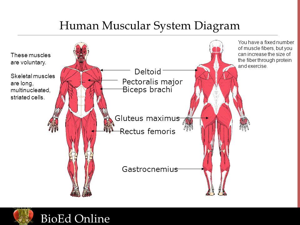 Bioed Online Human Body Systems Bioed Online Levels Of Organization