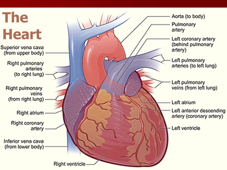 The Heart Functions Of The Heart Blood Pressure Blood Pressure
