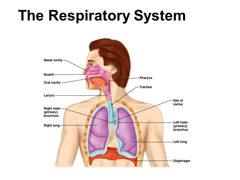 The Respiratory System. 2 Respiration Includes  Pulmonary ...