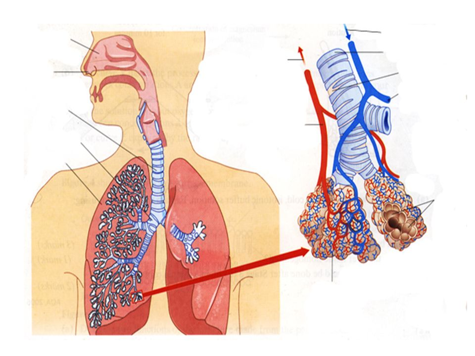 Lung Function And Disease Lung Structure Lungs Are The Interface For
