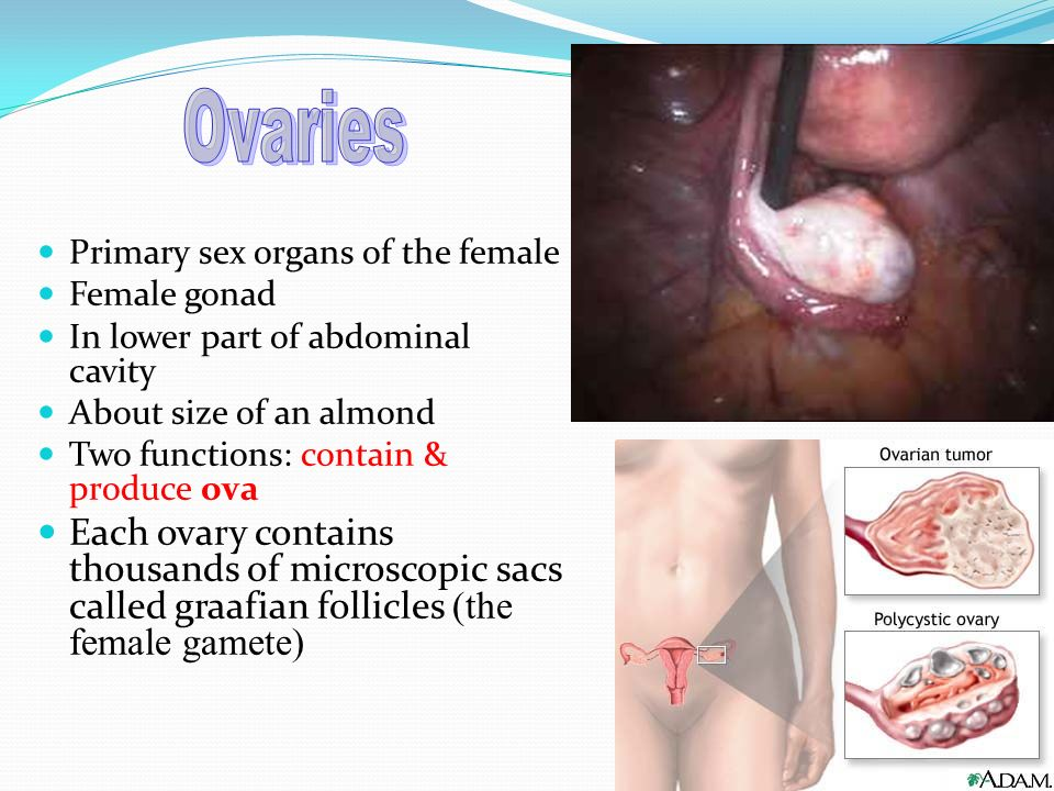 2 Primary sex organs of the female Female gonad In lower part of abdominal  cavity About size of an almond Two functions: contain & produce ova Each  ovary ...