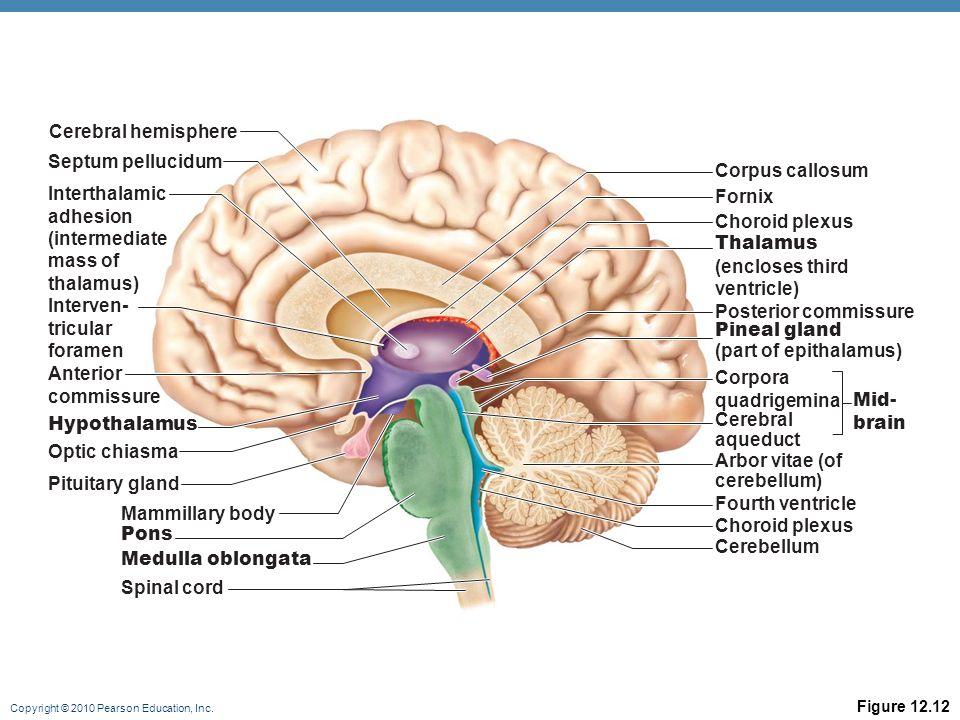 Pearson Education Brain Diagram Great Installation Of Wiring Diagram