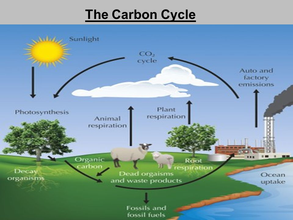 Intro to ecology abioticbiotic factors human impact cycles 9 the carbon cycle ccuart Choice Image
