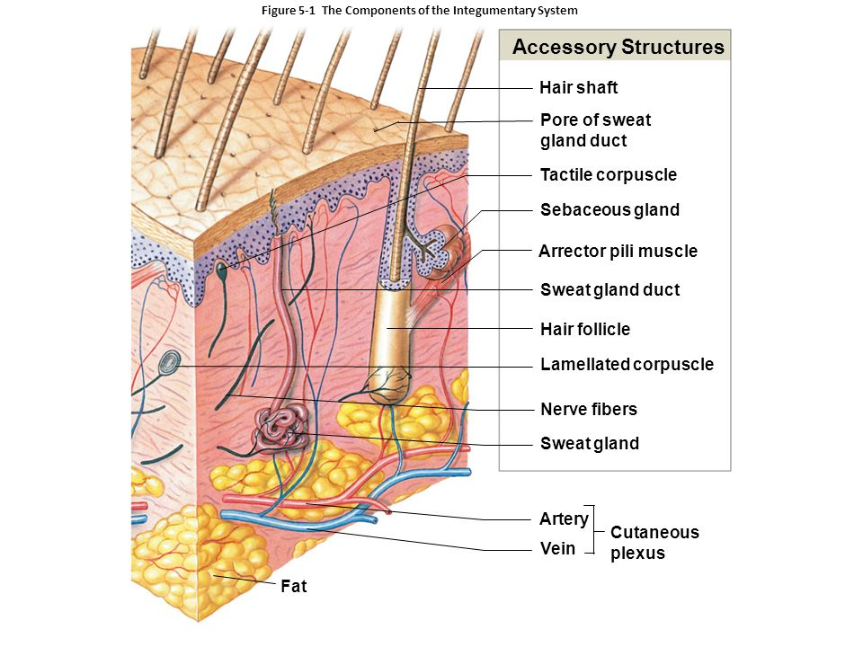 5 The Integumentary System. An Introduction to the Integumentary ...