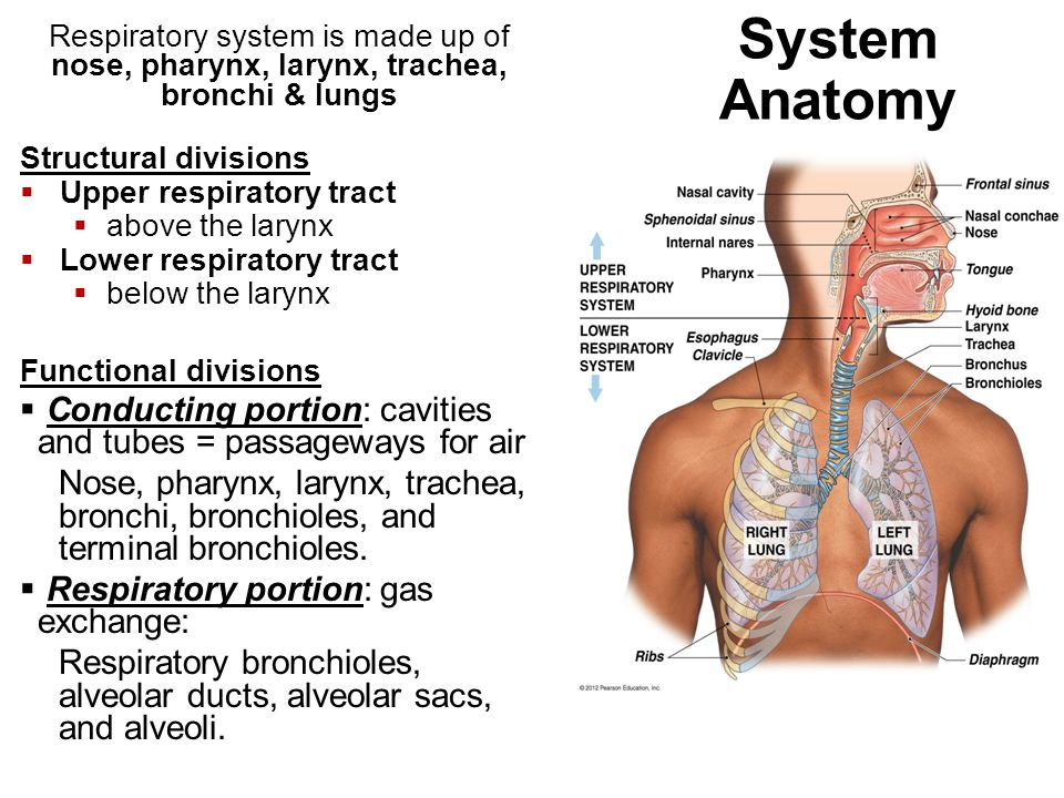Chapter 23 The Respiratory System Functions of Respiratory System 1 ...