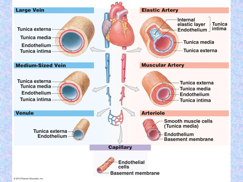 Chapter 13 The Cardiovascular System Blood Vessels Ppt Download