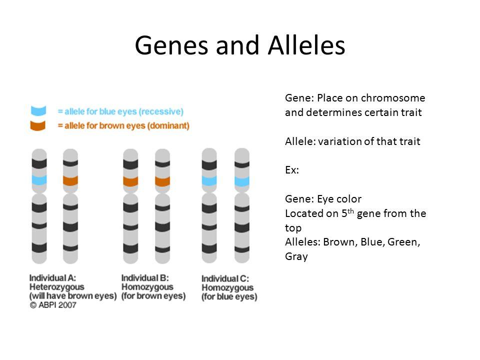 mendel s punnett squares genes and alleles gene place on
