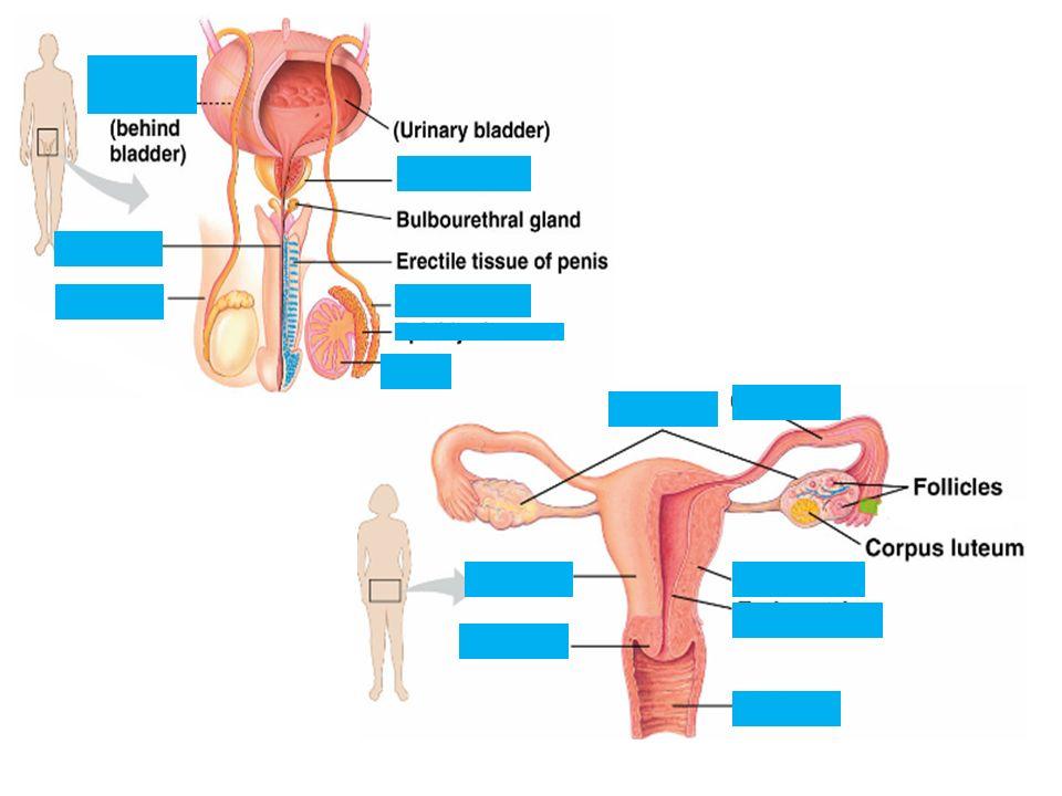 Reproduction Testes Male Gonads Produce Sperm Produce Sex