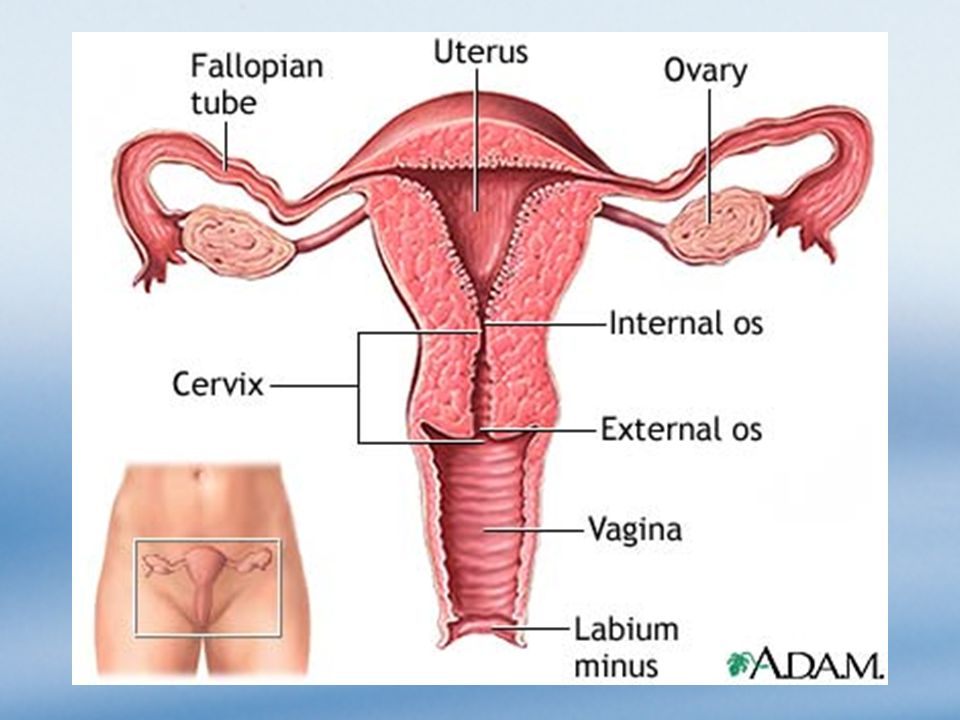 The Female Reproductive System Overview The Female Reproductive