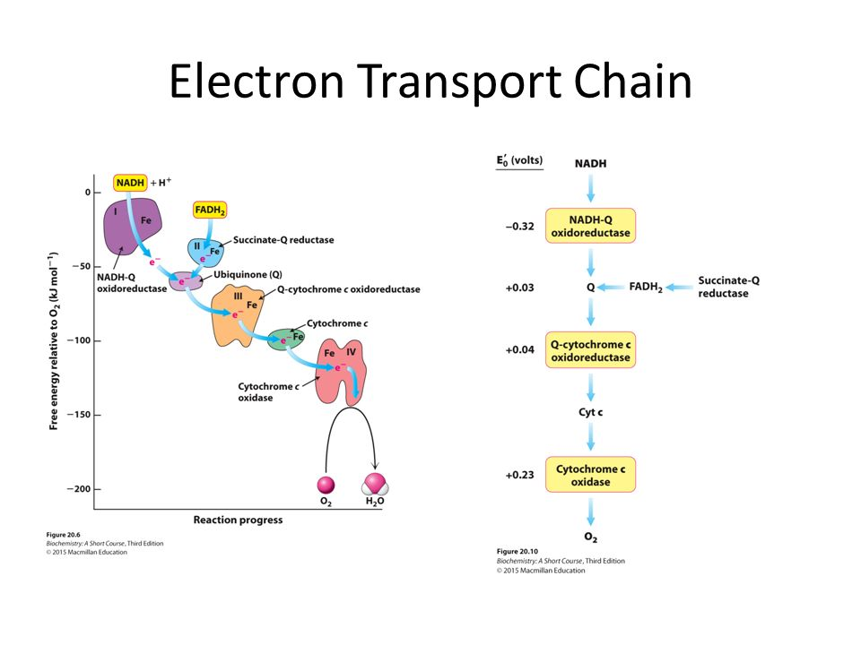 Simple Electron Transport Chain Diagram Golfclub