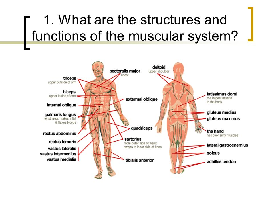 Skeletal - Muscular Systems Chapter 32 Pg What are the structures ...
