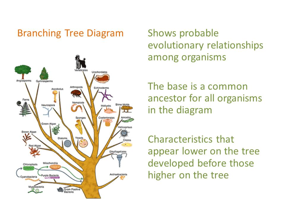 Chapter 7 Sections 3 5 Evolution Of Species Branching Trees Ppt
