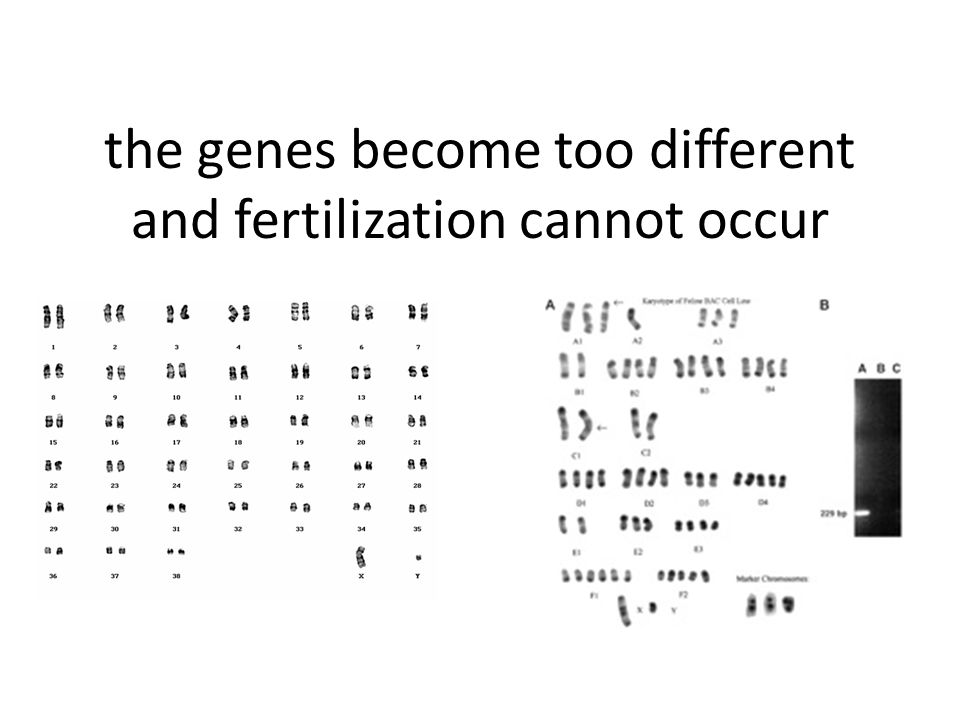 the genes become too different and fertilization cannot occur